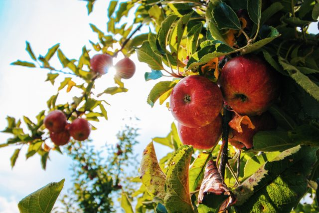 The Ultimate Guide to Apple Picking Fun in Virginia
